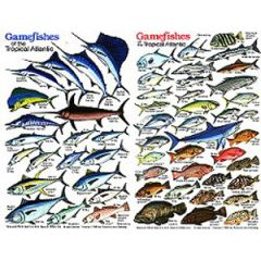 Gamefishes Of the Tropical Atlantic Fish Card