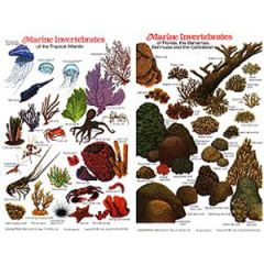 Marine Invertebrates Of Florida, The Bahamas & Caribbean Fish Card
